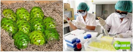 Bệnh Ung thư | Khả năng chống ung thư của cây Nhàu (Noni)